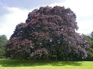 copper-beech-tree