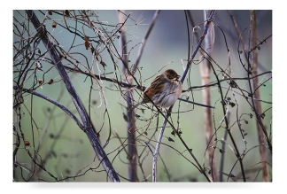 hellowell-reed-bunting-798